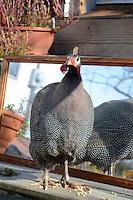 "Helmeted Guinea fowl, ""gleanies"" on porch near mirror, Maine USA"