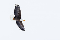 A Bald Eagle prepares to swoop in to steal a scrap off a fox carcass in the Lamar Valley. The fox had been killed by a coyote, which was off caching parts of it at this moment.