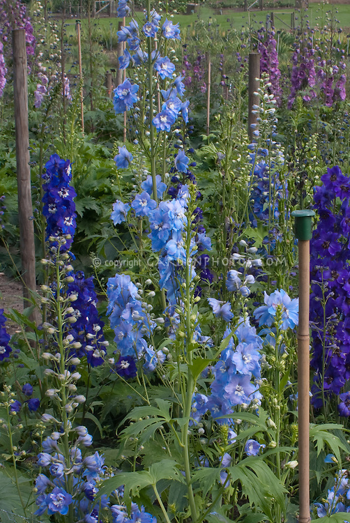 Delphinium Magic Fountain Sky Blue in tall flowers, larkspur