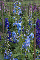 Delphinium Magic Fountain Sky Blue in tall flowers, larkspur