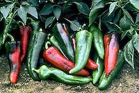 HS41-001d  Pepper - Italia variety
