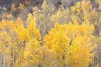 Aspen hillside near Rocky Mountain National Park
