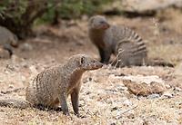 Banded Mongoose, Mungos mungo, in Serengeti National Park, Tanzania