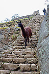 Early morning at Machu Picchu with dark brown sharp footed llama descending stone steps on temple grounds in Peru