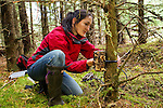 Scottish Wildcat (Felis silvestris grampia) biologist, Kerry Kilshaw, placing camera trap on tree in coniferous forest, Scotland, United Kingdom