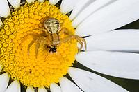 Krabbenspinne mit erbeuteter Fliege auf einer Blüte, Beute, Räuber, Xysticus spec., Crab-spider, crab spider, Krabbenspinnen, Thomisidae, crab spiders