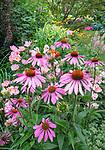 Vashon-Maury Island, WA: Summer perennial garden with echinacea 'Cheyenne Spirit' blooming