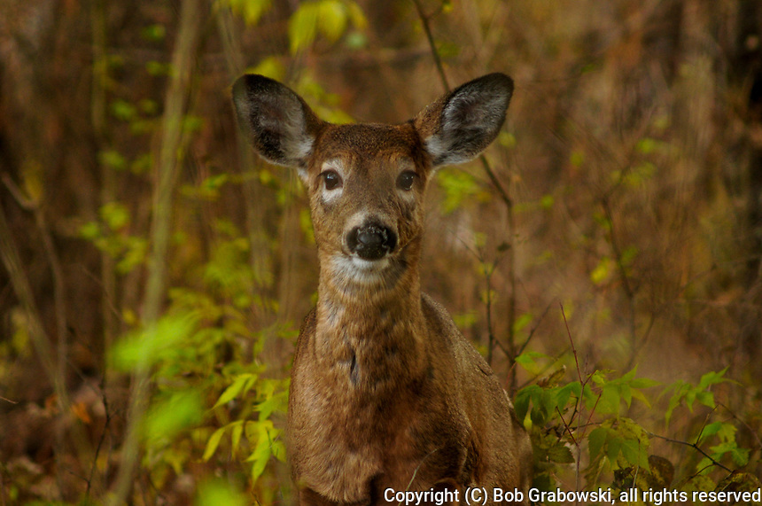 Whitetail Deer,  Odocoileus virginianus, in Five Rivers Environmental Center in Delmar, New York