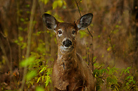 Whitetail Deer,  Odocoileus virginianus, in Five Rivers Environmental Center in Delmar, New York