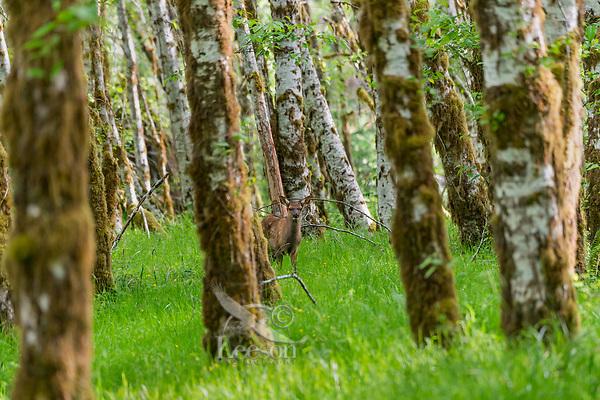 Roosevelt Elk (Cervus canadensis roosevelti) calf, sometimes called Olympic Elk, standing among alder trees along rainforest river bottom.  Olympic National Park, WA.  Summer.