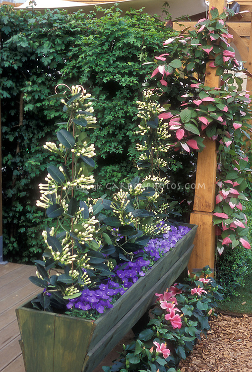 Climbing vine garden with Campanula, Madagascar Jasmine Stephanotis in trough container with variegated foliage plant kiwi vines Actinidia at rear, vertical gardening trellis on patio, hibiscus at base