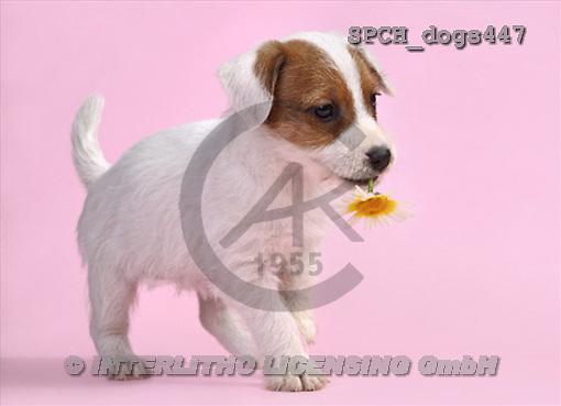 Xavier, ANIMALS, dogs, photos(SPCHdogs447,#A#) Hunde, perros