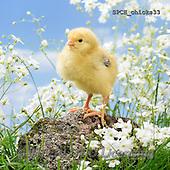 Xavier, ANIMALS, REALISTISCHE TIERE, ANIMALES REALISTICOS, photos+++++,SPCHCHICKS33,#A# ,funny