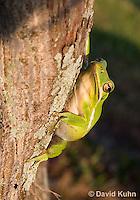 1218-1009  American Green Treefrog Climbing Tree, Hyla cinerea  © David Kuhn/Dwight Kuhn Photography