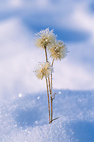 Frosted grass in fresh winter snow, Brooks Range, Alaska