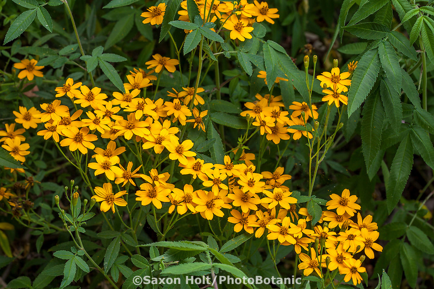 Tagetes nelsonii - Citrus Scented Marigold flowering perennial n University of California Berkeley Botanical Garden