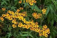 Tagetes nelsonii - Citrus Scented Marigold flowering perennial n University of California Berkeley Botanical Garden