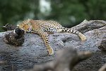 Female Leopard (Panthera pardus) resting on fallen log. South Luangwa National Park, Zambia.