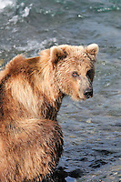 A brown bear keeps an eye out for other bears at the McNeil River Falls,  in Alaska's McNeil River State Game Sanctuary.