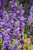 Salvia farinacea Mealy Sage, Texas, New Mexico native plant herb with blue flower
