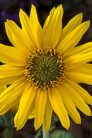 Close up of an Ashy Sunflower (Helianthus mollis). Also known as the Hairy or Downy Sunflower, found in prairies and dry sites throughout central and eastern North America.