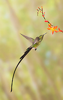 Male black-tailed trainbearer hummingbird, Lesbia victoriae, near Nono, Ecuador