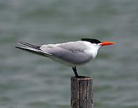 Caspian tern in breeding plumage
