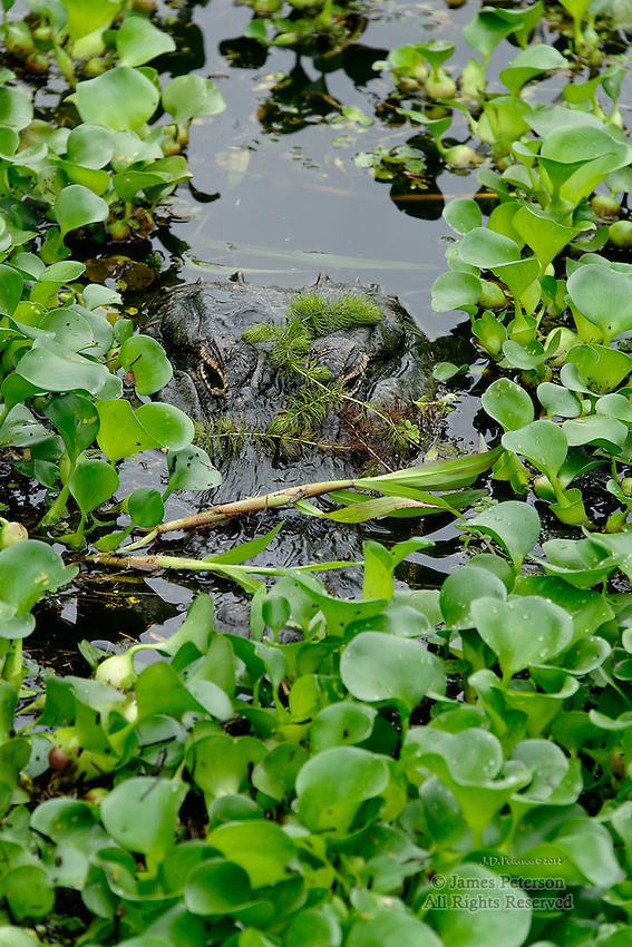 Alligator, Myakka River, Florida