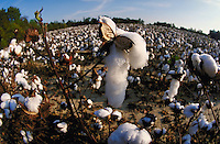 Cotton field ready for harvesting. Virginia USA Surry County.