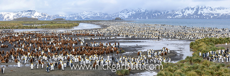 Colony of adult and juvenile king penguins (Aptenodytes patagonicus), Salisbury Plain, South Georgia, South Atlantic.
