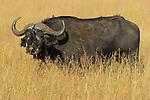 An African Cape or Water Buffalo (Syncerus caffer) on the Masai Mara National Reserve safari in southwestern Kenya.