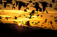Snow Geese (Chen caerulescens) in flight at sunrise at Bosque del Apache Wildlife Refuge, New Mexico
