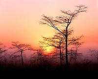 Foggy sunrise light through Dwarf Cypress trees; Everglades National Park, FL