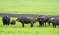 A herd of Cape Buffalo, Syncerus caffer caffer, in Arusha National Park, Tanzania. Several Red-billed Oxpeckers, Buphagus erythrorhynchus, perch on their backs.