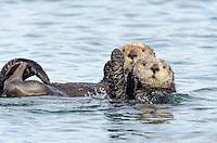 Two Southern Sea Otter (Enhydra lutris nereis).  California Coast.