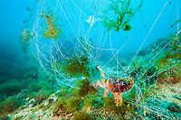 Rockfish trapped in lost Fishing Net, Scorpaena scrofa, Cap de Creus, Costa Brava, Spain, Mediterranean Sea, Atlantic