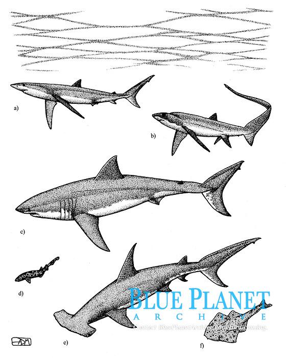 Sharks: a blue shark, Prionace glauca; b bigeye thresher shark, Alopias superciliosus; c great white shark, Carcharodon carcharias; d swellshark, Cephaloscyllium ventriosum; e great hammerhead, Sphyrna mokarran; f Pacific Ocean angelshark, Squatina californica, pen and ink illustration.