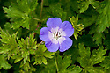 Geranium 'Rozanne' (syn. Geranium 'Jolly Bee'), mid June. 'Jolly Bee' is no longer available: the two cultivars have been determined to be identical.