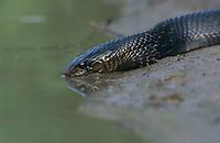 Texas Indigo Snake, Drymarchon corais erebennus, adult drinking, Starr County, Rio Grande Valley, Texas, USA