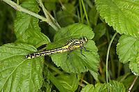 Gemeine Keiljungfer, Weibchen, Gomphus vulgatissimus, club-tailed dragonfly, Flußjungfer, Flussjungfer, Gomphidae