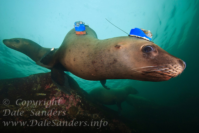 Curious young Stellers Sea Lions (Eumetpias jubatus), one with a Satellite Tag, underwater in the Strait of Georgia off Vancouver Island, British Columbia, Canada.