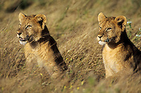 African lion cubs (Panthera leo) Serengeti National Park, Tanzania.  Watching other pride members stalk prey.
