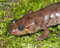 SL15-511z Northern Dusky Salamander, Desmognathus fuscus fuscus