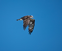 Osprey in flight against bright blue sky-wings are in  downstroke