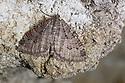 Tissue Moth (Triphosa dubitata) hibernating in cave. Slovenia. March.