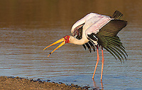 The yellow-billed stork is another of Africa's many stork species.  This one has caught a large tadpole.