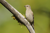 Townsend's Solitaire (Myadestes townsendi). Yakima County, Washington. May.