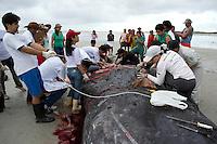 Estudantes do curso de medicina veterinária da UFPA, e técnicos do GEMAM, Grupo de Estudos dos Mamíferos Aquáticos da Amazônia, realizaram a necropsia da baleia morta ontem após encalhar na praia do Crispim no litoral do Pará. . De acordo com os técnicos no local, a baleia, uma  jovem fêmea, da espécie Cachalote.  tinha muitos vermes e parasitas no seu interior, motivo que pode ter deixando a baleia doente e, uma vez, debilitada não deve ter conseguido nadar com o mesmo vigor se estivesse saudável, motivo que que pode ter contribuído para que as as correntes marítimas tenham a trazido para a praia de Crispim. O laudo que irá apontar as causas da morte da Baleia, deve ser concluído nos próximos 30 dias. <br /> Marapanim, Pará, Brasil.<br /> Foto Elielson Silva<br /> 08/04/2014