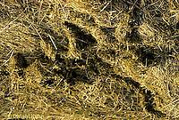 MU06-001d  Meadow Vole -winter runways seen after snow melt - Microtus pennsylvanicus