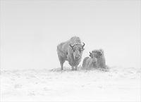 Bison bison<br /> <br /> A pair of bison in a freezing mist.